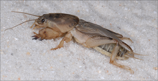 An image of a molecricket.