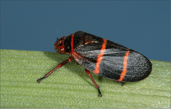 An image of a two-lined spittlebug. A black bug with two orange stripes.