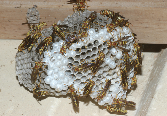 An image of a many wasps building thier nest.