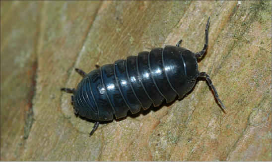 An image of a pill bug.