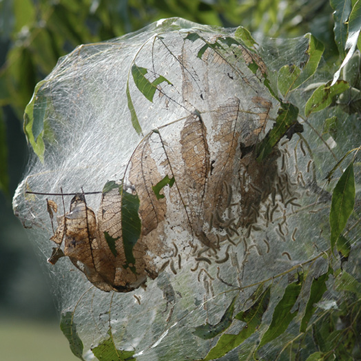 A large, dense web encasing the end of a branch, with dried, brown leaves inside.
