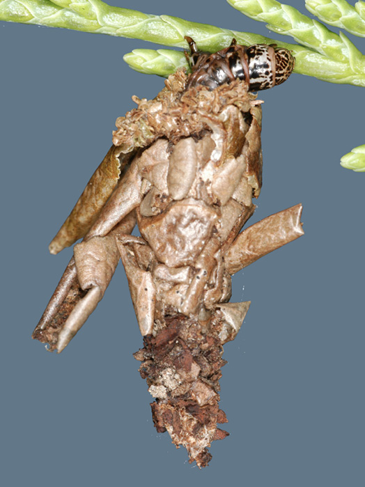 A bagworm attached to a stem can be identified by the tan silk bag around it. This bag contains some plant leaf parts that have been incorporated into the bag.