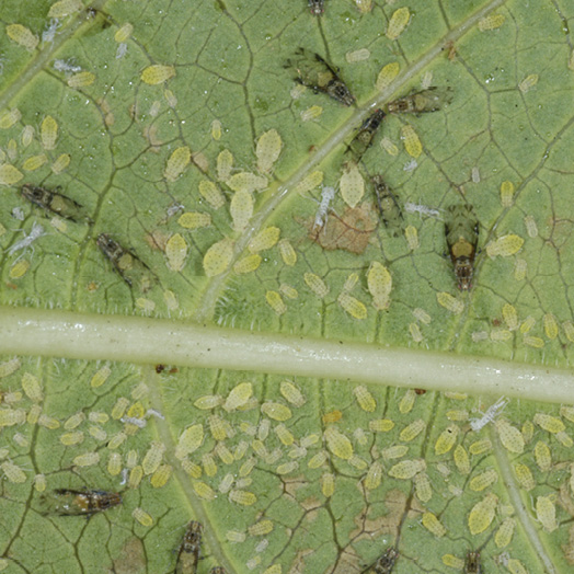 Adult crape myrtle aphids and their young on the underside of a young leaf. The aphids have been feeding on the sap in the leaf, leaving behind brown, dry-looking areas.