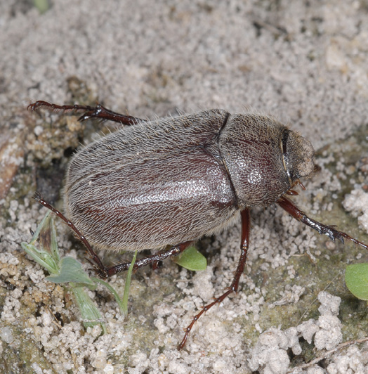 A brown, fuzzy beetle crawls across the ground.