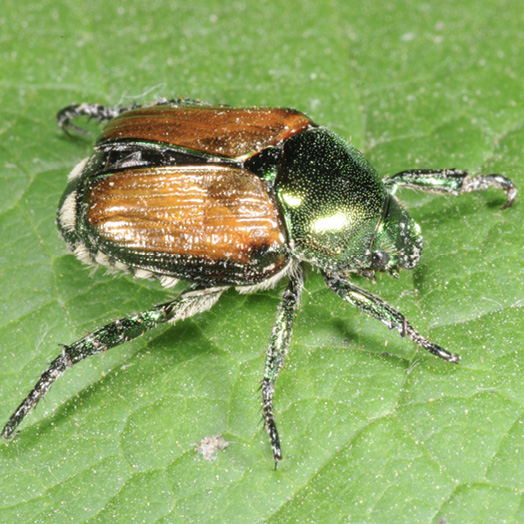 A metallic-green beetle with metallic-bronze wings and white, fuzzy spots along its abdomen.