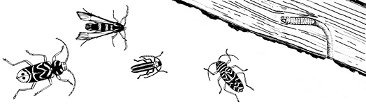 A drawing of several different species of wood-boring insects next to a piece of wood.
