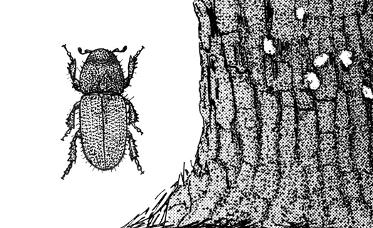 A drawing of a black turpentine beetle next to the trunk of a pine tree.