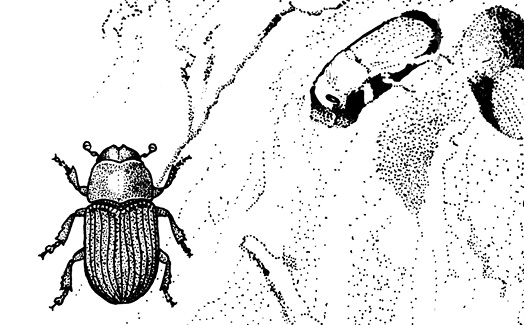 A drawing of a beetle next to a depiction of larvae in the outer bark of a pine tree.