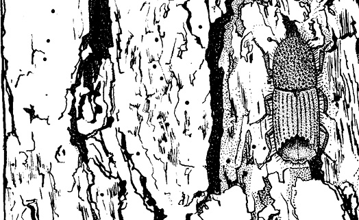 A drawing of the Ips beetle and the small bore holes it leaves in the bark of pine trees.