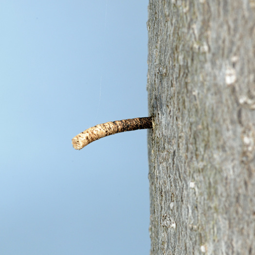 A gray insect with metallic markings, almost blending in to the bark of the tree it clings to.