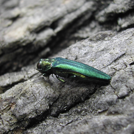 A blue-green metallic insect rests on the bark of an ash tree.