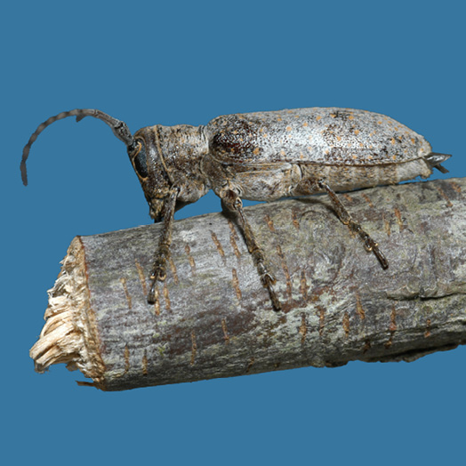 A gray-brown beetle sits on the end of a twig that it has chewed through.