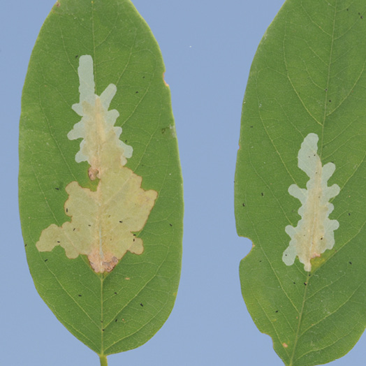 Two leaves with black locust leafminer feeding damage. The leafminers fed on the insides of the leaves, leaving the leaf epidermis attached and giving the fed-upon areas a transparent look.