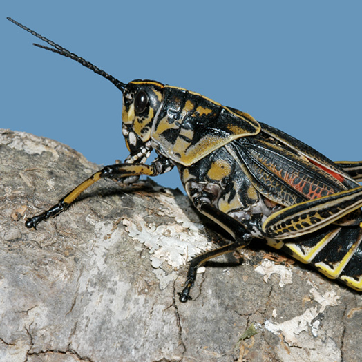 An Eastern lubber grasshopper rests on the bark of a tree. The grasshopper is black with tan and red markings along its body.