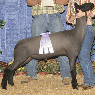 A dark gray lamb with black legs and head.