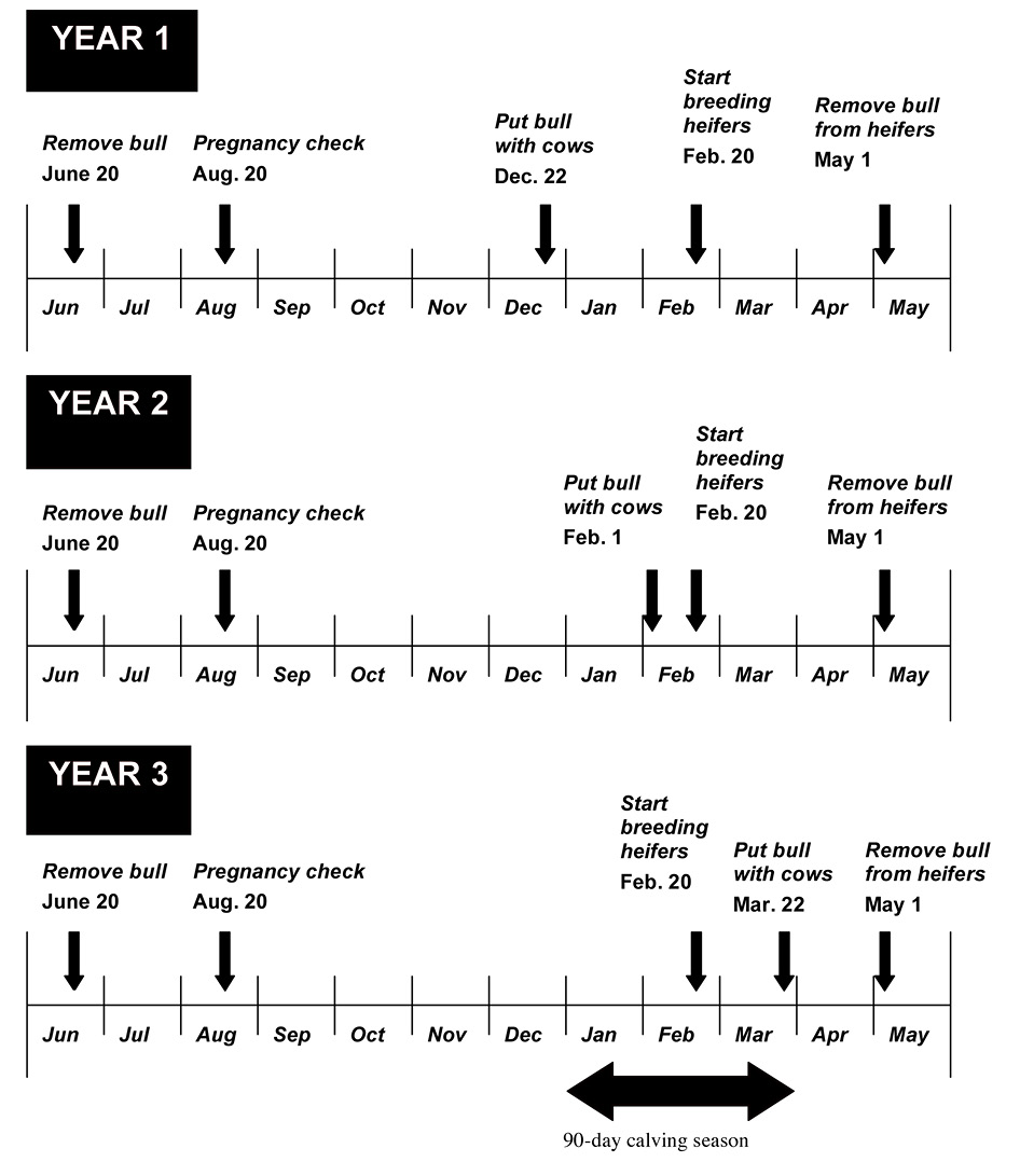 A three year plan for converting from year-round calving to a 90-day calving season. Year one: Remove bull on June 20. Pregnancy check on August 20. Put bull with cows December 22nd. Start breeding heifers February 20. Remove bull from heifers May 1. Year two: Remove bull on June 20. Pregnancy check on August 20. Put bull with cows December 22nd. Start breeding heifers February 20. Remove bull from heifers May 1. Year 3: Remove bull on June 20. Pregnancy check on August 20. Put bull with cows December 22nd. Start breeding heifers February 20. Remove bull from heifers May 1. From January through March, there will be a 90-day calving season.