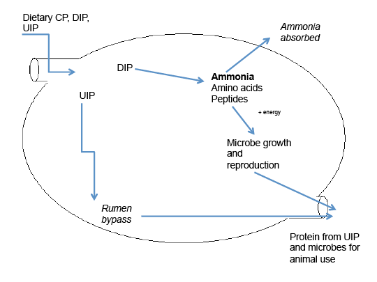 This drawing shows the protein digestion in the ruminant.