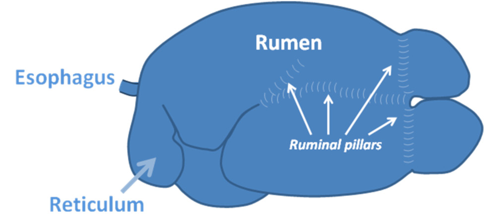 A drawing showing the left-sided view of a ruminant digestive tract.