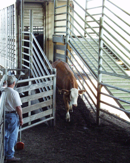 A man watches a red and white cow walk down an unloading ramp.