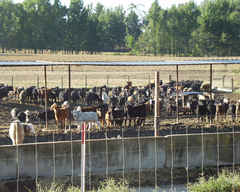 Behind a wire fence and concrete barrier, cattle stand in a pen partially covered by a metal-roofed structure providing shade.