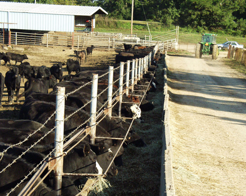 Black cattle stand at the fence line eating hay out of a trough.