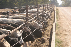 Black, white, and brown cattle eat from a trough along a fence line. A dirt road runs parallel to the fenceline.