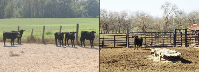 Two different pens for sick cattle. In the first, five sick calves share a hospital pen. In the second, one sick calf occupies a hospital pen.
