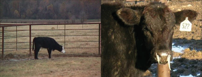 Two different examples of sick calves. The first calf stands at a distance with its head drooping. The second calf has white nasal discharge coming from both nostrils.