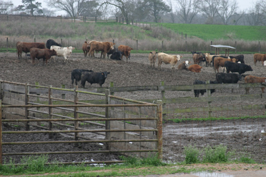 Cattle stand in a receiving pen with wooden fences.