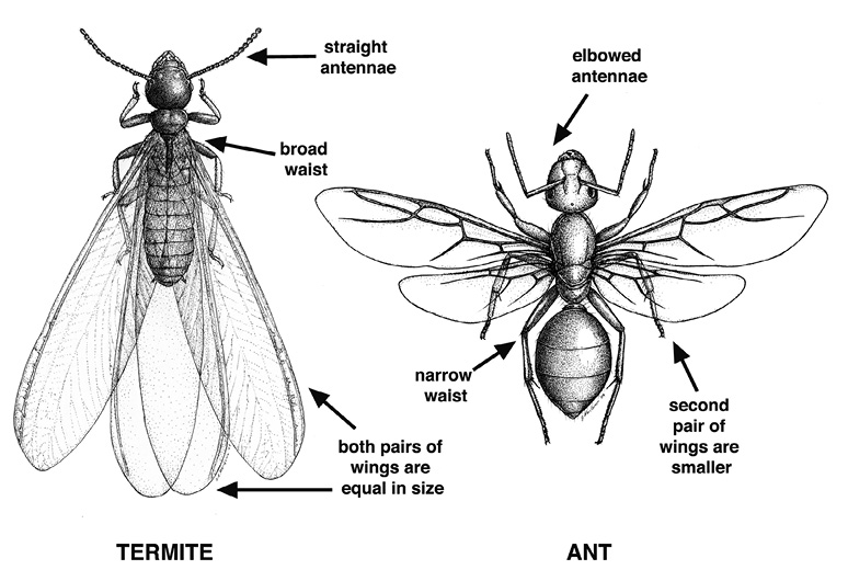 Termite swarmers have straight antennae, broad waists, and two pairs of wings that are equal in size. Ant swarmers have elbowed antennae and narrow waists, and their second pair of wings is smaller than their first pair.
