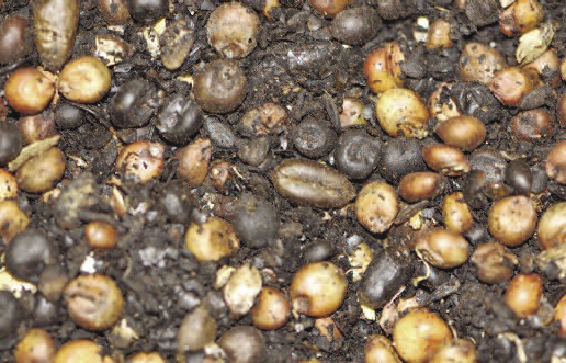 A mixture of milo and soybeans with brown and black seeds.