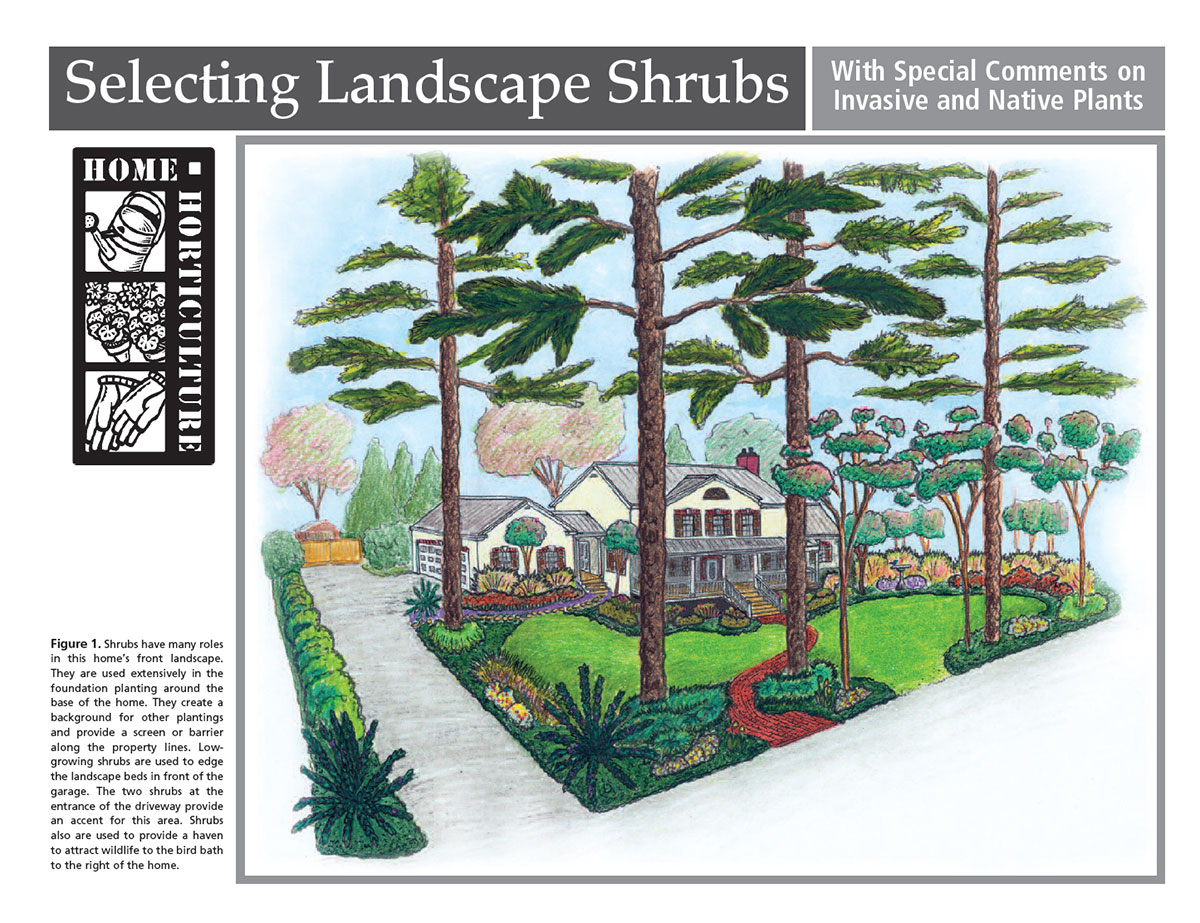 A drawing of a front yard landscape using shrubs.