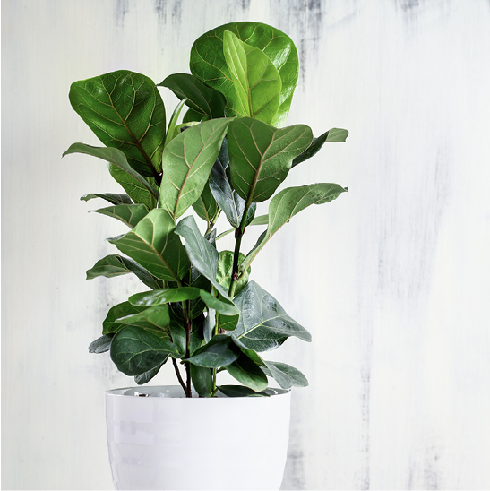 Potted fiddle leaf fig, a popular houseplant prone to insect infestations.