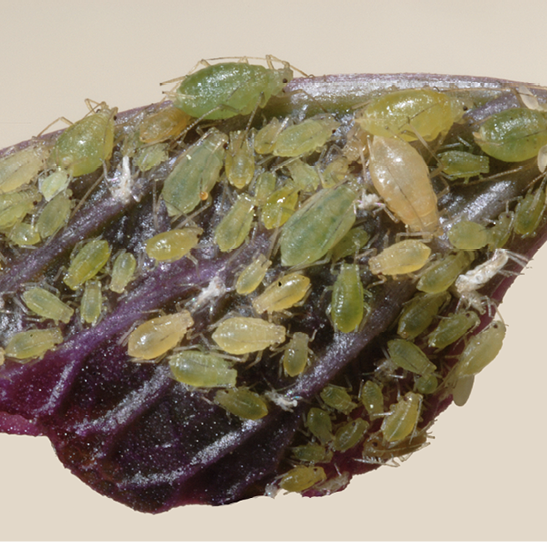 Aphids, or yellow green insects with round bodies, cover purple foliage.