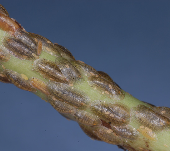 Small round flattened bodies of scale insects cover a green stem.