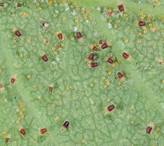 Spidermites are pictured on a green leaf. The small brown and yellow bugs are a common houseplant insect.