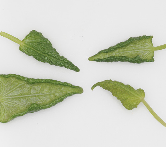Broad mite damage on leaves results in curled edges.