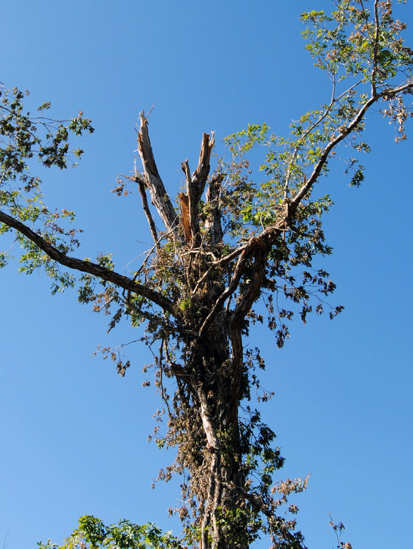 The crown of this hardwood tree is more than 75 percent damaged.