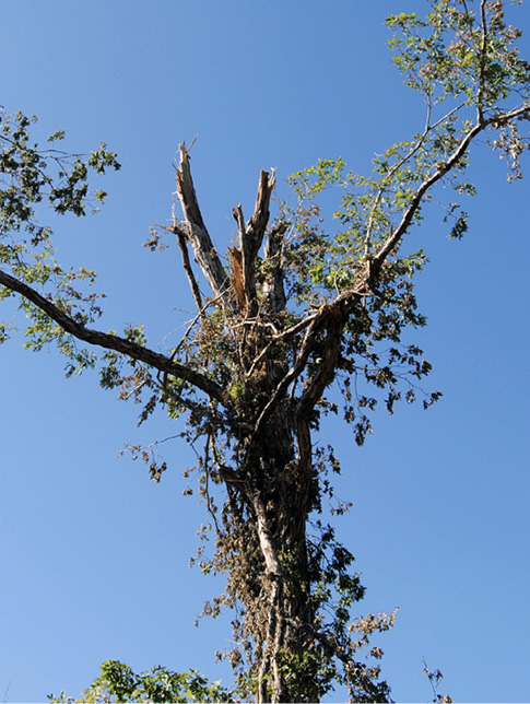 The top of a tree with two small branches on the outside and many broken branches in the center.