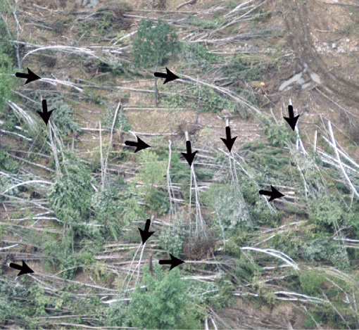 An aerial view of fallen trees with arrows indicating the direction each fell. The trees fell in many different directions and are overlapping one another.