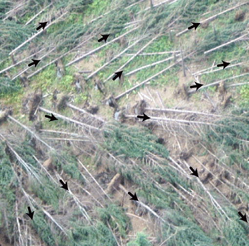 Aerial view of fallen trees with arrows indicating the trees all fell in roughly the same direction.