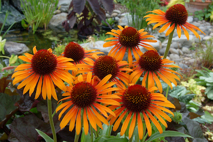 Several flowers with bright orange/yellow petals and dark brown centers.