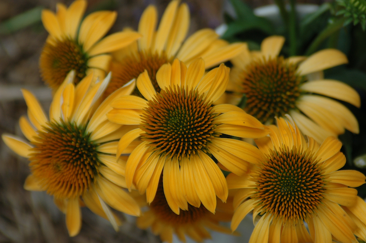 Flowers with dark yellow petals and brown centers.