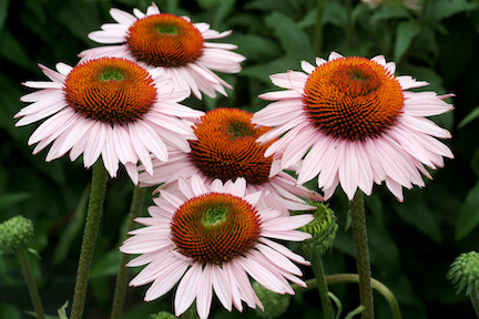 Flowers with white/light pink petals and dark orange centers with green spots in the middle.