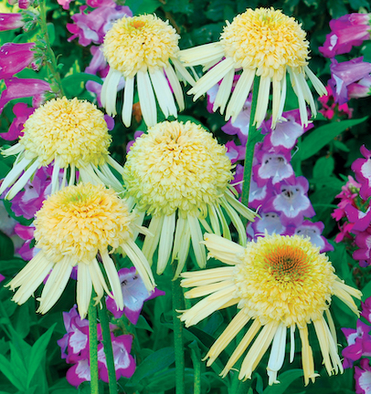 Flowers with light yellow/white petals curved downward and large, bright yellow centers.