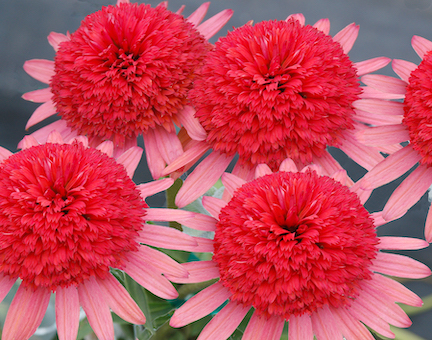 Flowers with light pink, short petals and fluffy dark pink centers.