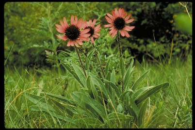 Three flowers with dark pink petals curved upward with dark centers rise up from green grass.