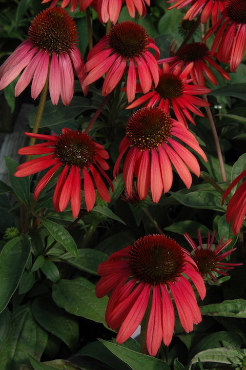 Flowers with dark pink/red petals and dark centers.