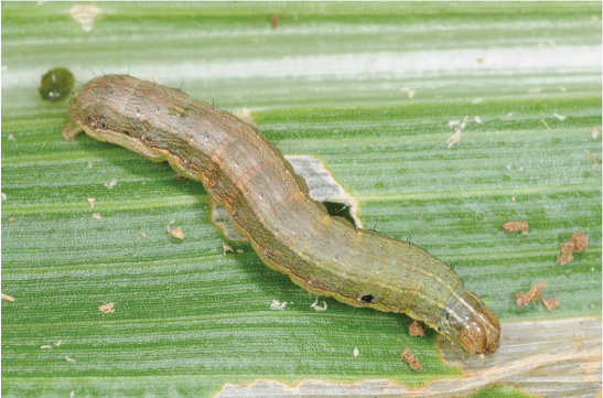 A composite of two pictures of fall armyworm caterpillars. The first caterpillar is pale green with tan stripes. The second caterpillar is almost black with horizontal tan stripes.