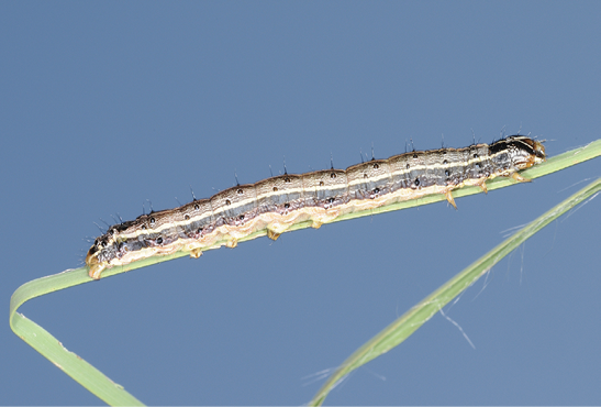 A fall armyworm with stiff hairs around its body, varying horizontal stripes of color along its body, and a black V or Y shape on its head.